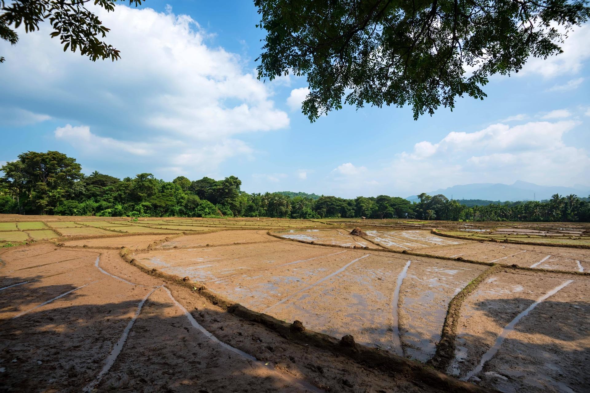 Fangueo en los arrozales
